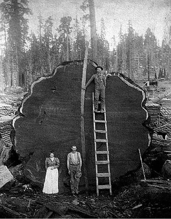 big-tree-cut